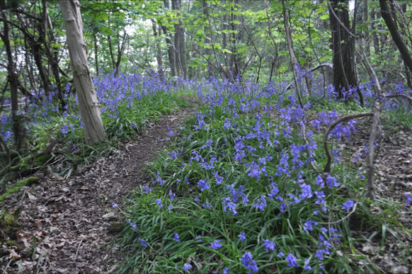 Bluebells in Bayhurst Woods